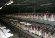 Granja industrial de pollos / Foto: ITamar K.