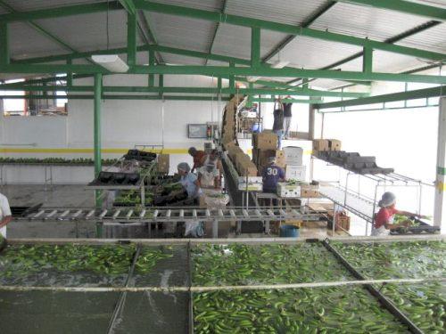 Fabrica Banano